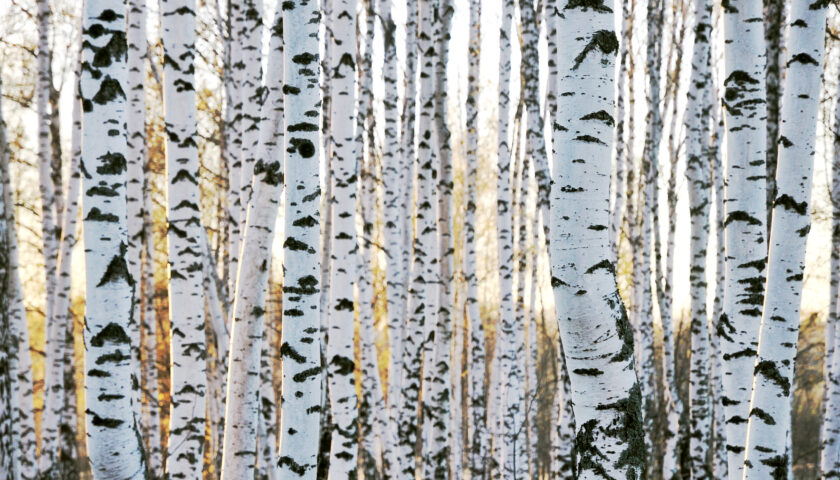 Birch tree – the colorfast bark