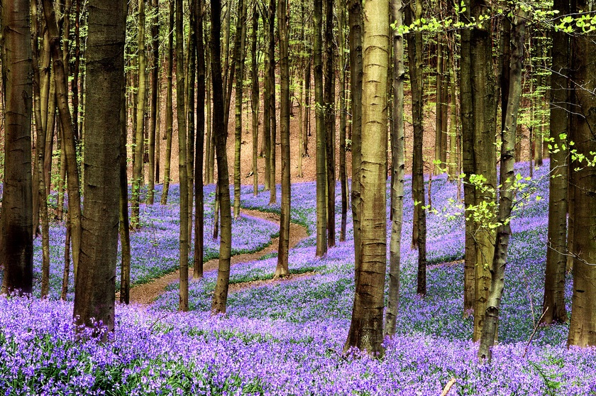 The bluebells of Hallerbos