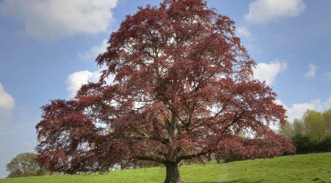 The European Copper beech tree