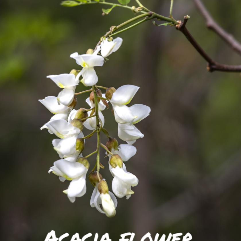 The acacia tree - sacred wood
