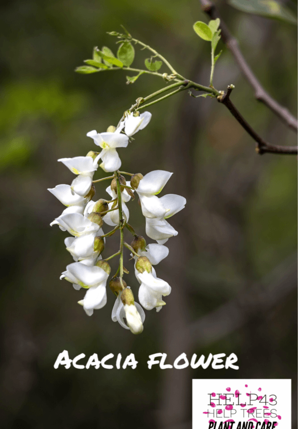 The acacia tree - sacred wood