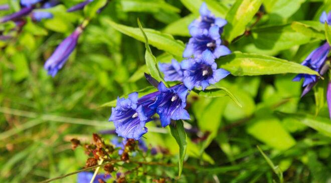 The bluebells of Hallerbos