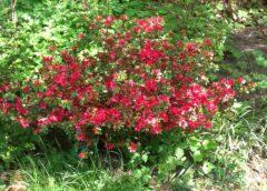 The Genus of azalea