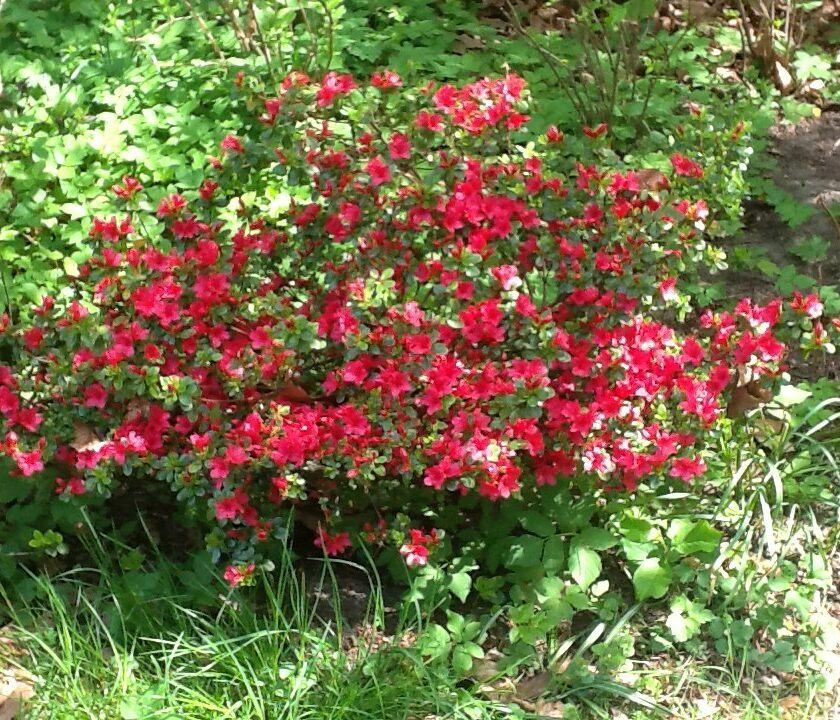 Genus of azalea