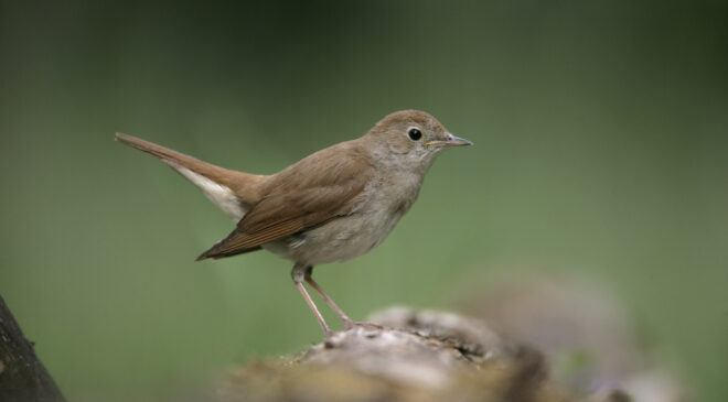 Like the sound of the nightingale…